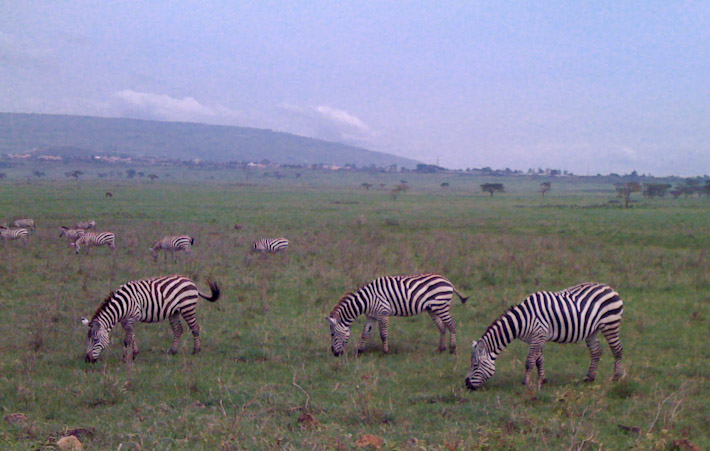 Zebras, spotted while approaching the Maasai Mara Reserve