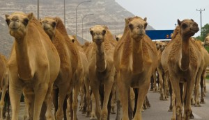 Camels on the street near Salalah, Oman