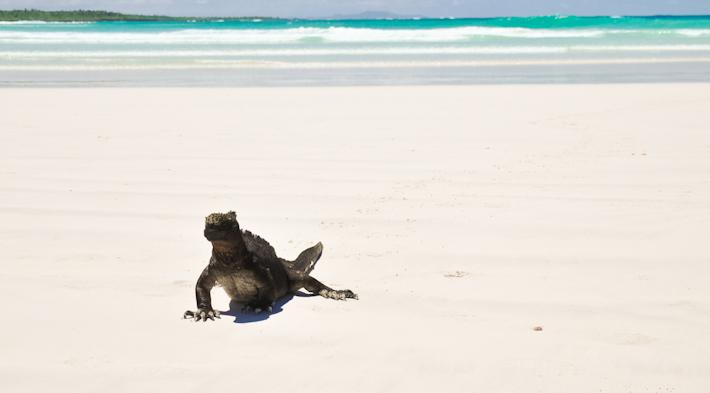 Iguana on Tortuga Bay, Galapagos Islands