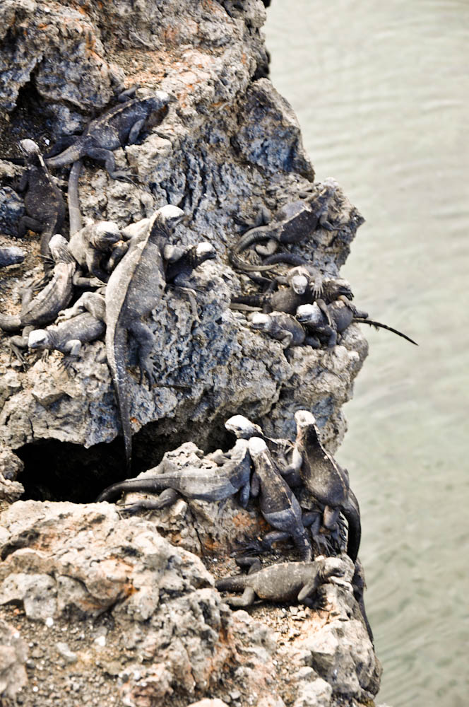 Junior marine iguanas seem to enjoy being on top of each other