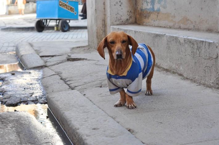 Dogs in Havana, Cuba