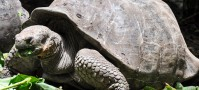 Giant tortoise at the Galapagos Islands