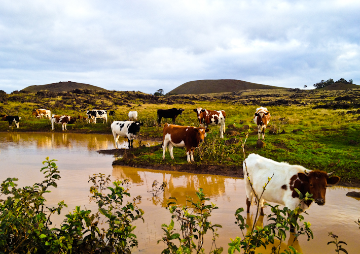 Cows in Easter Island