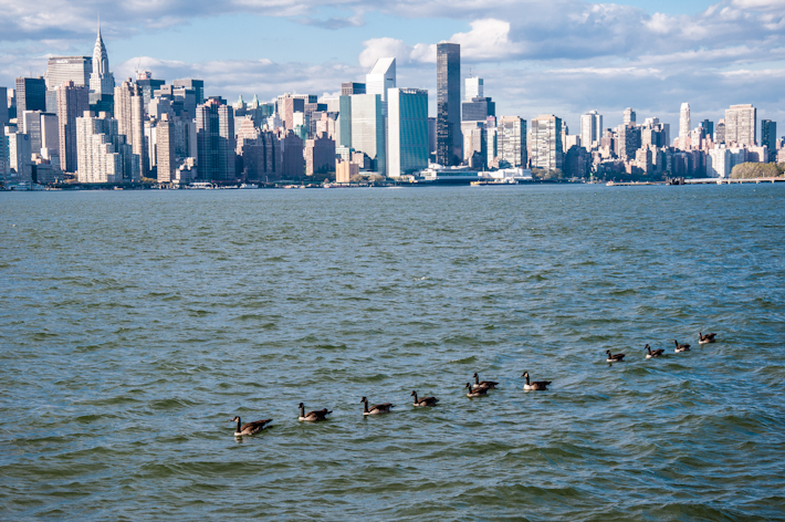 Ducks swimming with New York City's skyline as background
