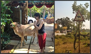 Why are cows holy in India?