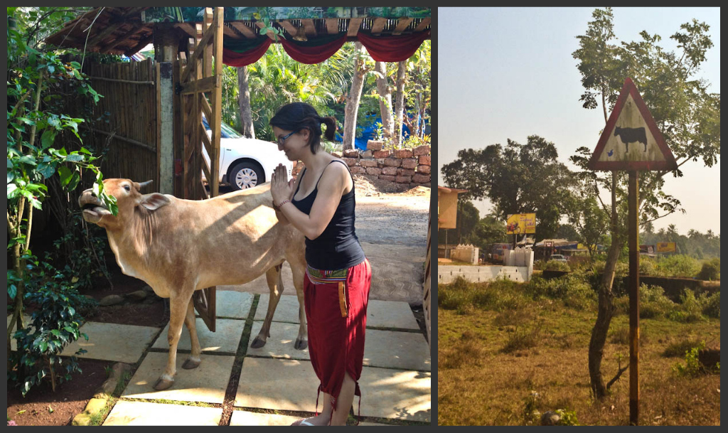 Why Are Cows Holy In India Backpack Me