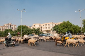 Cattle traffic jam in New Delhi, India