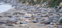 Seals in Big Sur, California