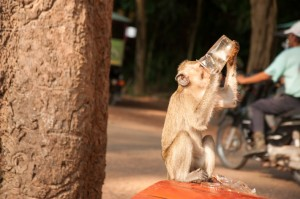 Monkey having a drink in Angkor Wat