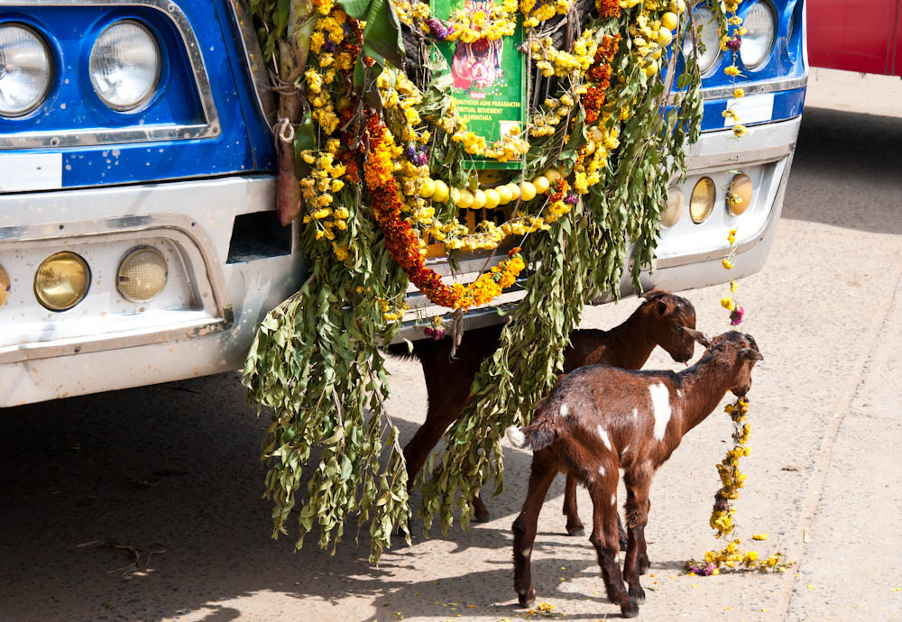 some goats are feasting on decorations that protect this bus from negative spirits