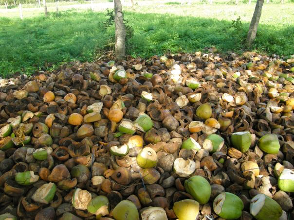 Disposed coconuts in India