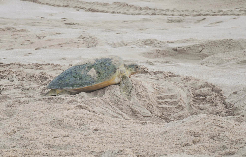 After dropping the eggs, turtles proceed to cover their nest with sand