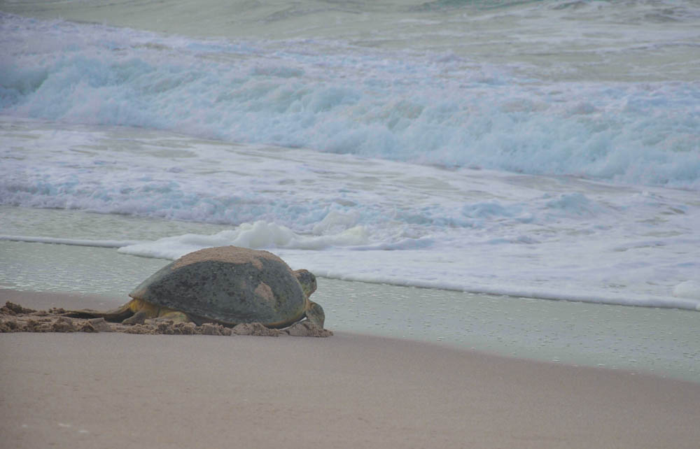 Sea turtle in Oman