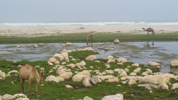 Camels in Salalah have it good!
