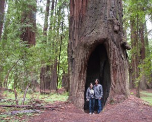 Massive redwood