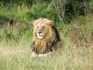 A lion in the masai mara