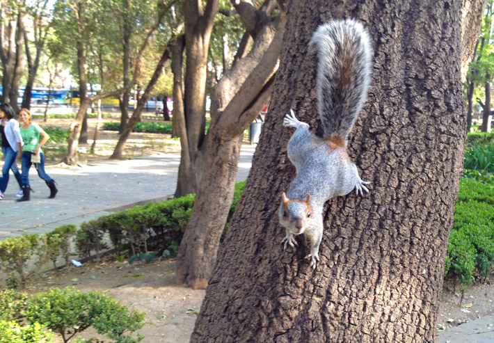 Squirrels are EVERYWHERE in Chapultepec Park!