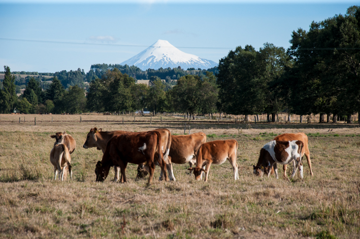 Cute cattle backed by a volcano!