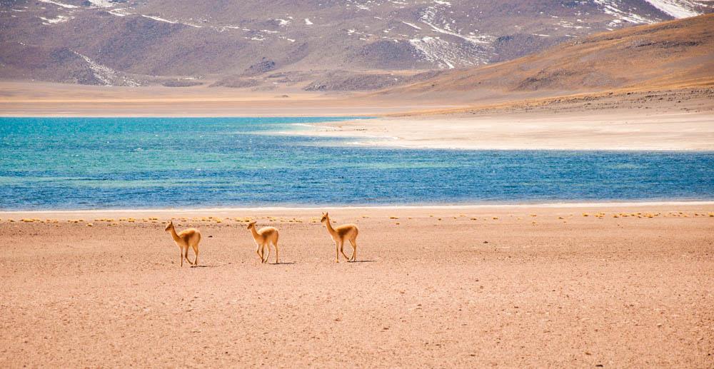Vicunas in the Atacama