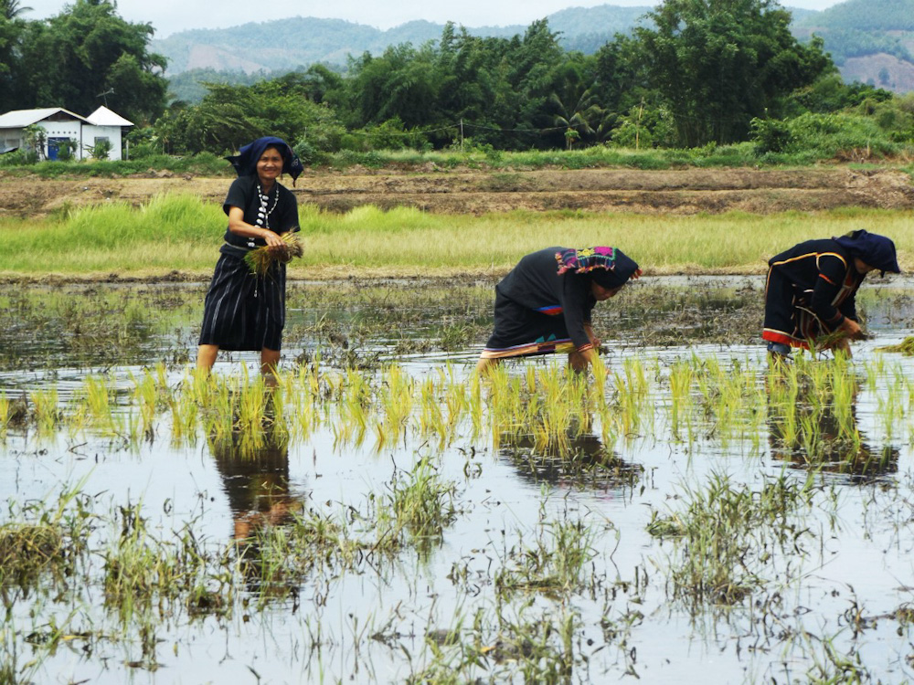 Women working in a rice field at Tai Dam Village - Thailand Loei Province
