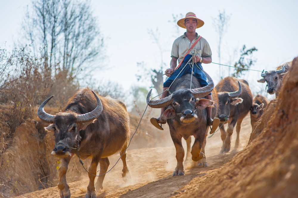 Man riding a buffalo in Myanmar's countryside