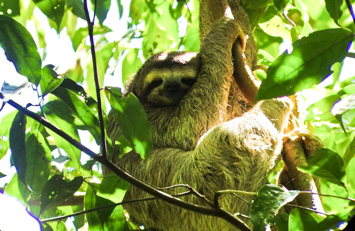 Sloth seen in Corcovado National Park, Costa Rica