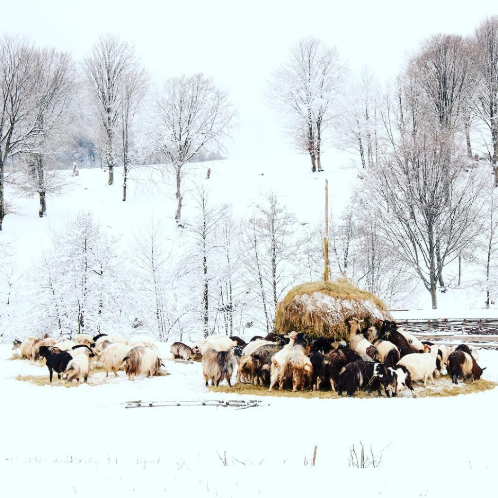 Sheep eating on the snow, in Maramures