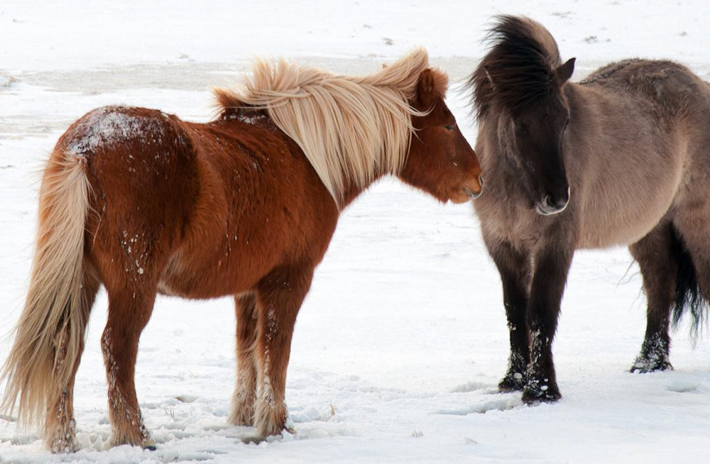 Icelandic horses during snowy weather