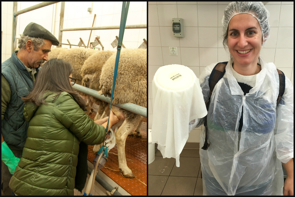Serra da Estrela cheese workshop: milking sheep & flaunting my cheese before it hits the curing cave